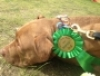 Toby with Winning Rosette